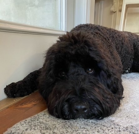 paco-Portuguese-water-dog